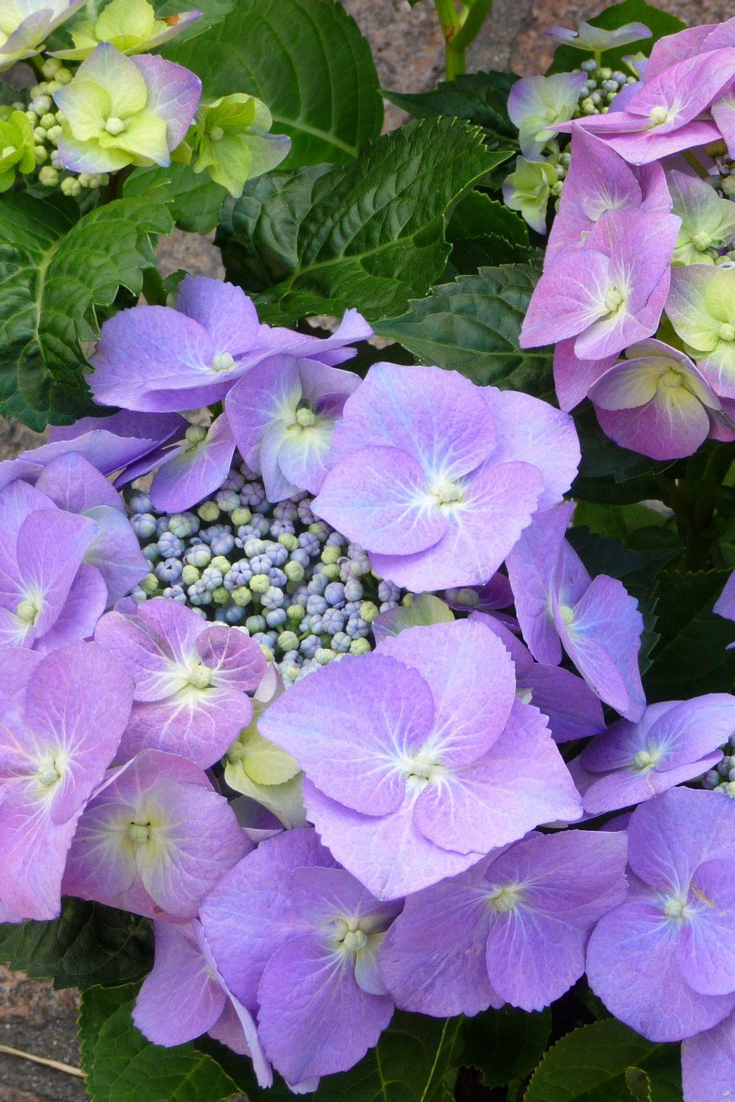 Flowering hydrangea — Bauernhortensie_Wochenmarkt